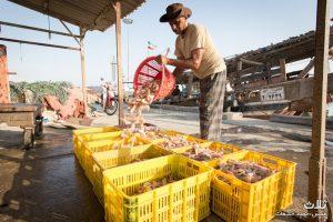 بازار فروش میگو در اسکله کنگان